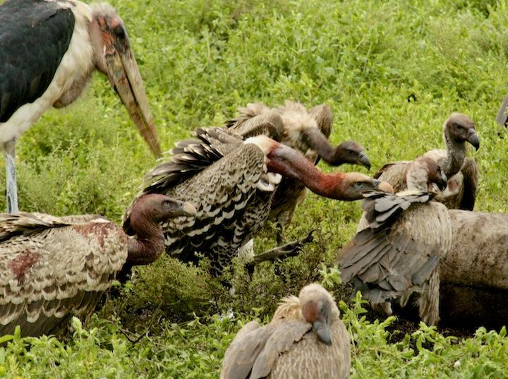 Do Vultures Eat Humans  zippyfactscom