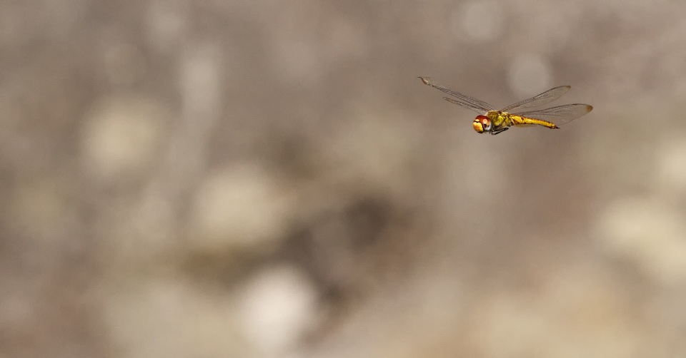 Red-eyed dragonfly inflight