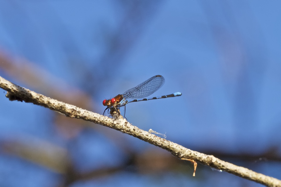 red-eyed dragon fly resting