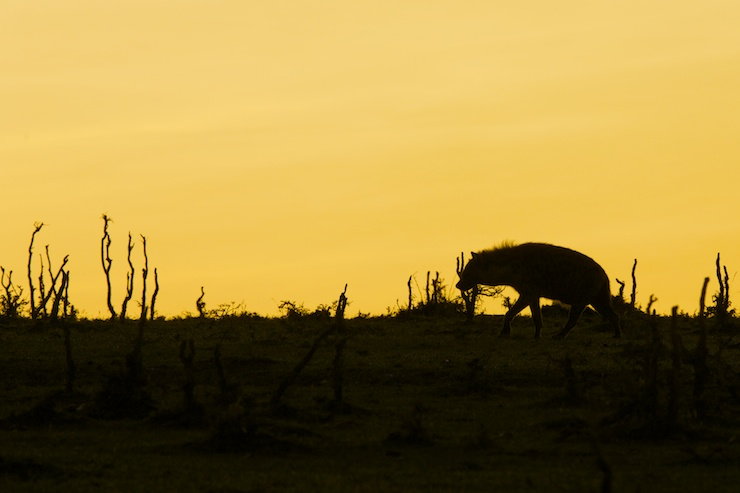 hyena safari silhouette