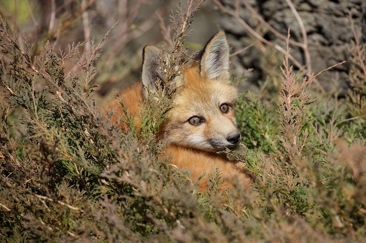fox kitt