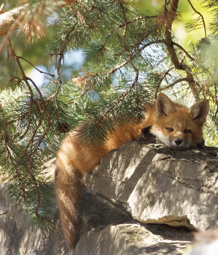 fox under the tree