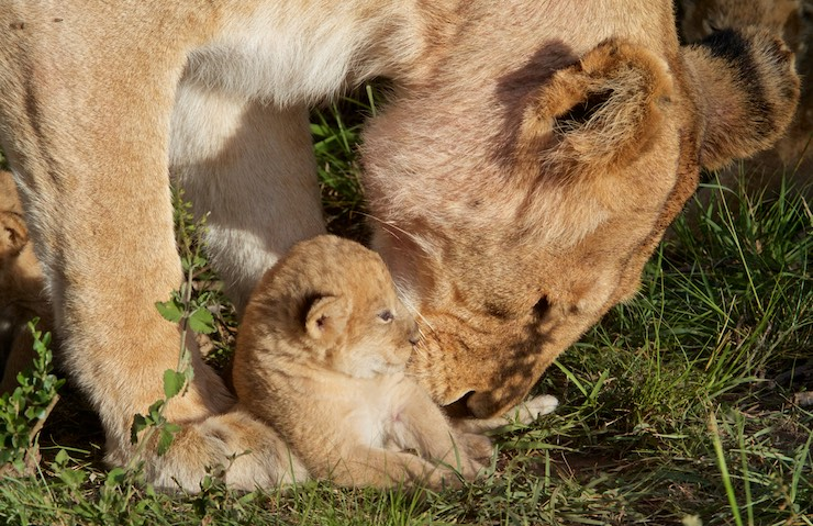 cubs_lion_MG_7198
