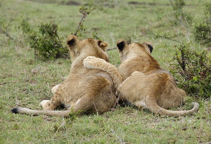 lionbrothers