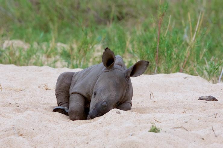 Young white rhino napping