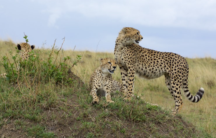 Malika with cubs by NJWight