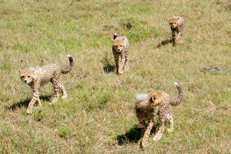 Malaika's cubs in 2014