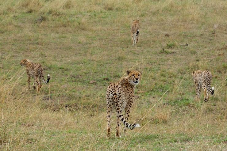 Maliaka and her cheetah family ©njwight