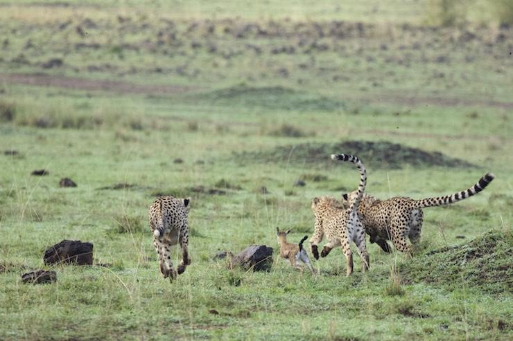 cheetah_hunting_NJWight