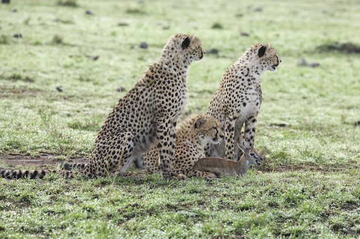 Malika's cheetah cubs hunting