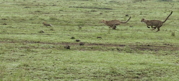 cheetah cubs hunting by NJWight
