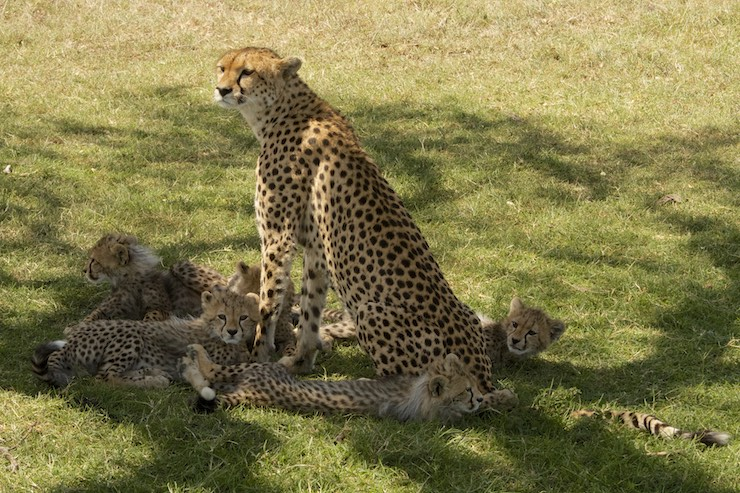 malaika with her cheetah cubs by NJ Wight