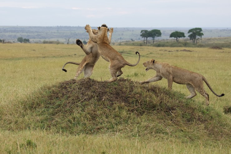 Lions_fighting_NJ Wight