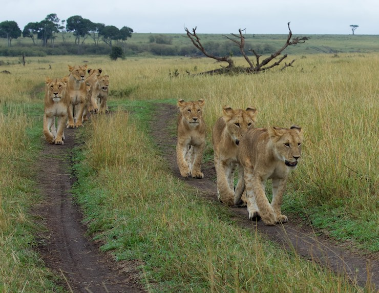 Lions_on_road_NJWIght