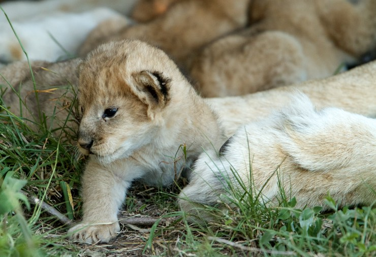 lion_cub by NJ Wight