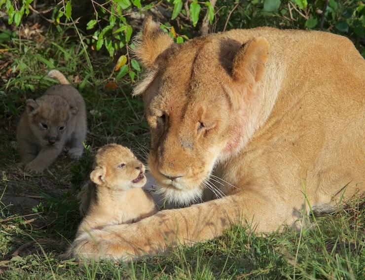 lion_cub_with_Mom_NJ Wight