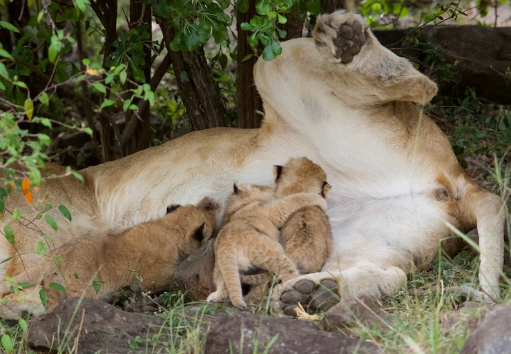 lion_cubs_feeding_NJ Wight