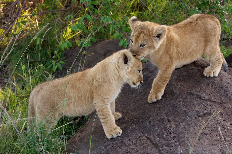 lion_cubs_kissing by NJ Wight
