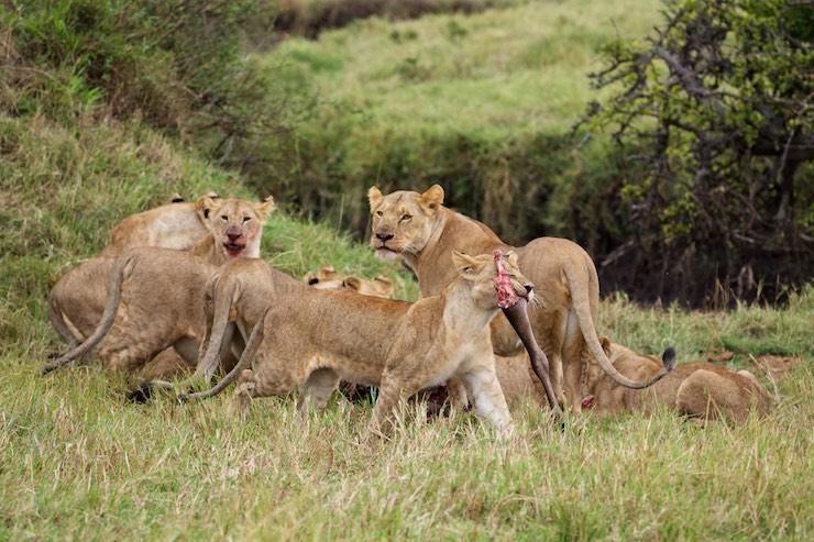 lion_pride_eating_NJ_wight