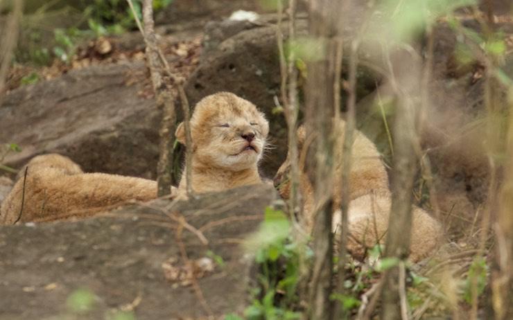 newborn_lioncub_NJwight