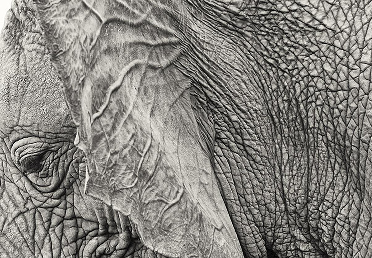 elephant_Ear_njwight.jpg