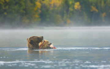 Grizzlies in the mist Canadian Wildlife federation NJ Wight