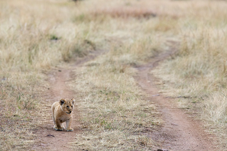 lion cub on the road in Masai Mara by NJ Wight
