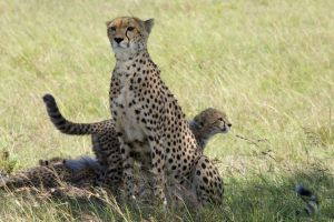 wight_cheetah__U7A7238-c24.jpg