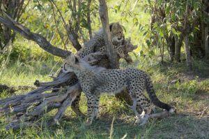 wight_cheetahs__U7A7133-c99.jpg