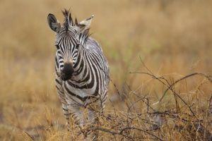 wight_zebra_0U7A0271.jpg